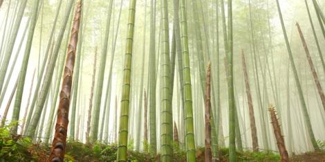 bambú-crecimiento