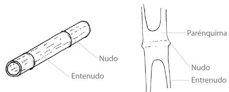 Bambú-tabique transversal
